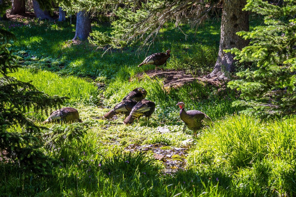 Wild Turkeys in Great Basin