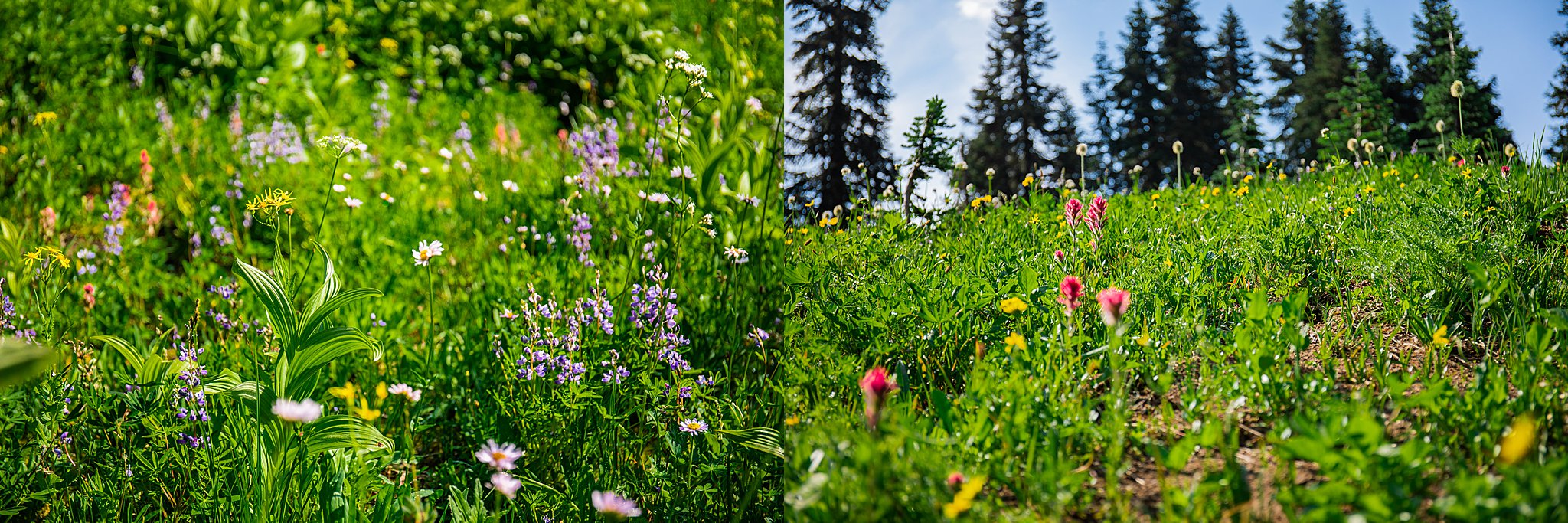 washington, naches peak loop, naches, pacific crest trail, national park, mount rainier, rainier, mount rainier national park, wildflowers, pacific northwest, summer hikes, chinook pass, tipsoo lake, 52 hike challenge